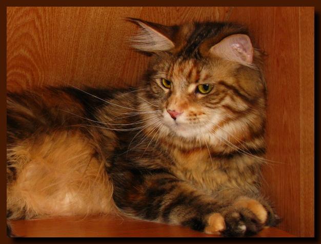 Кошки мейн кун питомник кошек star sky