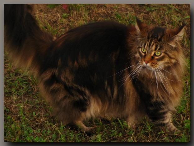 Star sky кошки мейн кун питомник кошек